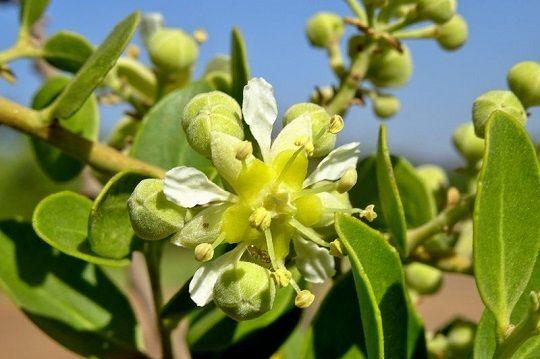 Quillay, el árbol nativo que sería clave en la lucha contra el coronavirus